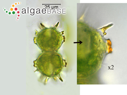 Cystoseira tilesii (C.Agardh) C.Agardh