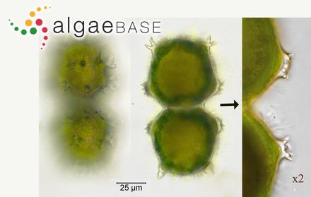 Sargassum expansum J.Agardh