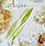 Elakatothrix gelatinosa Wille