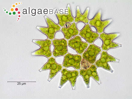 Laminaria fascia (O.F.Müller) C.Agardh