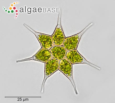 Phyllitis fascia var. latior Hariot