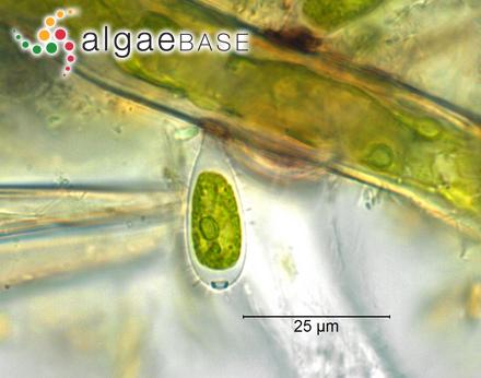 Phyllitis debilis Kützing