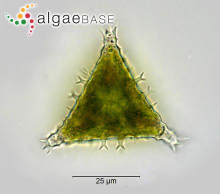 Scytosiphon durvillei (Bory) Trevisan