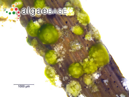 Macrocystis planicaulis C.Agardh