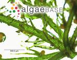 Chara vulgaris var. hispidula (A.Braun) J.A.Moore