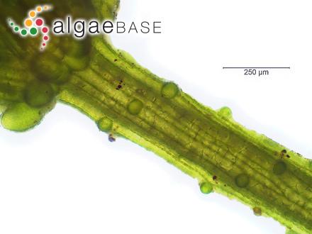 Cystoclonium spinuligerum J.Agardh