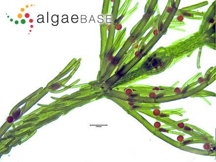 Metagoniolithon stelligerum Weber Bosse