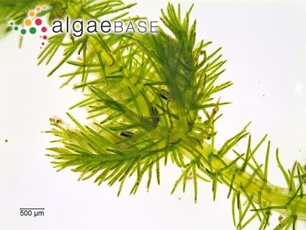 Gracilariopsis rhodotricha E.Y.Dawson