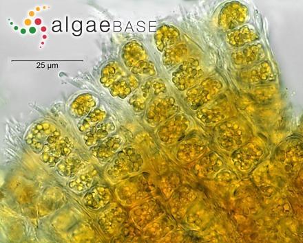 Lithophyllum discoideum f. aequabile Foslie