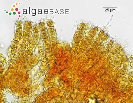 Lithophyllum aequabile f. wadelica Foslie