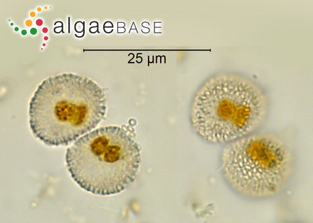 Lithophyllum marlothii f. falklandicum Foslie