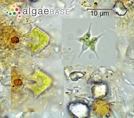 Lithothamnion magellanicum Foslie