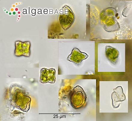 Lithothamnion magellanicum f. crenulata Foslie