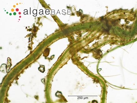 Pachydictyon polycladum (Sonder ex Kützing) Womersley