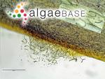 Nostoc muscorum C.Agardh ex Bornet & Flahault