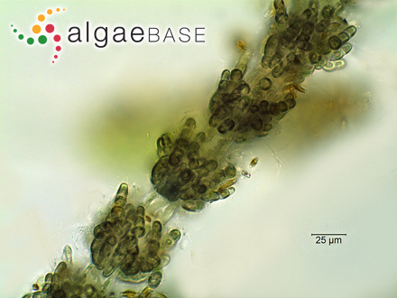 Iridaea latissima (J.D.Hooker & Harvey) Grunow