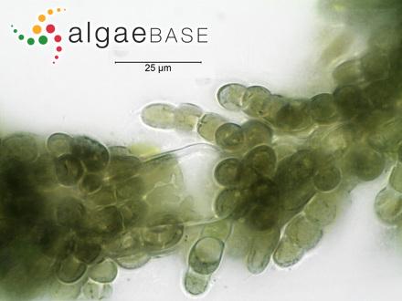 Rhodoglossum latissimum (J.D.Hooker & Harvey) J.Agardh