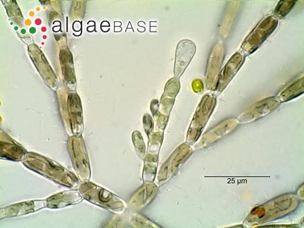 Haliseris woodwardia (R.Brown ex Turner) C.Agardh