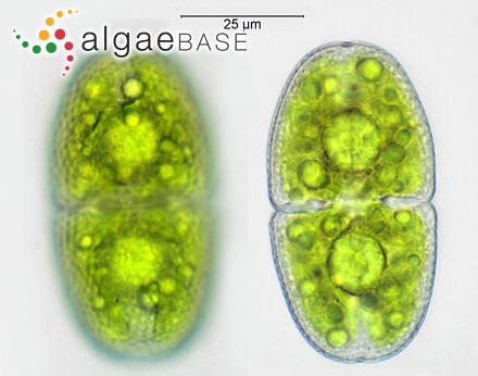 Fucus nodosus var. evesiculosus J.Agardh