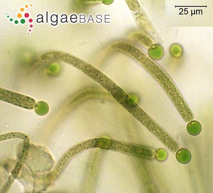 Sphacelaria chorizocarpa Sauvageau