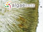 Gloeotrichia pisum Thuret ex Bornet & Flahault