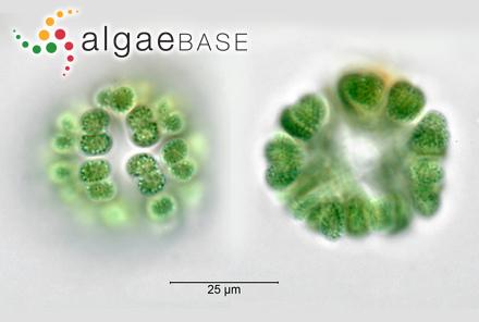 Sphacelaria kovalamensis V.Krishnamurthy & Baluswami