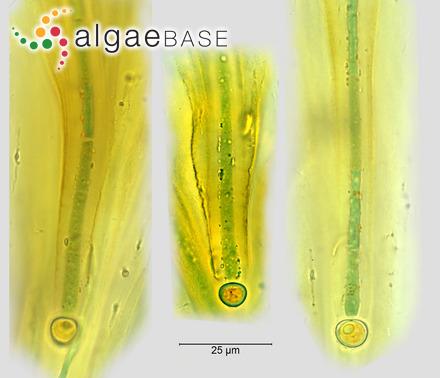 Gigartina angulata J.Agardh