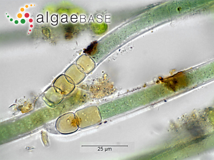 Nothogenia tuberculosa (J.D.Hooker & Harvey) Kützing