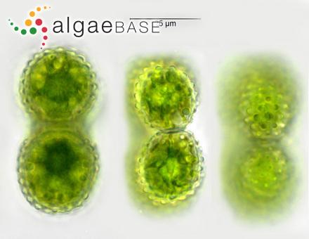 Titanoderma byssoides var. trochanter (Bory de Saint-Vincent) Bressan & Babbini