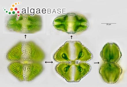 Melobesia confinis P.Crouan & H.Crouan
