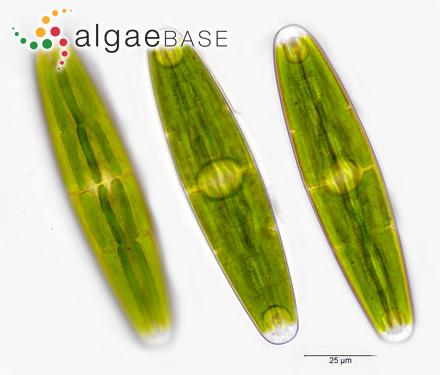 Sargassum granuliferum C.Agardh