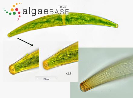 Spongocarpus hemiphyllus (Turner) Kützing
