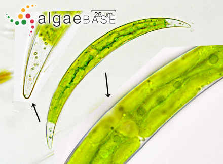 Sargassum heterocystum Montagne