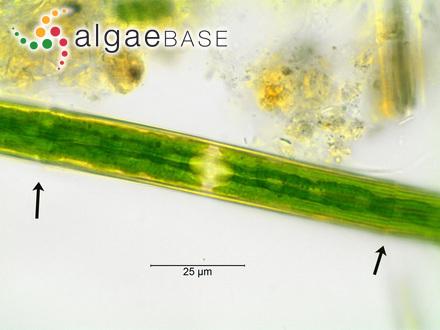 Sargassum hombronianum var. manilense (Grunow) Grunow