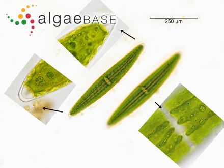 Sargassum ilicifolium var. pseudospinulosum Grunow