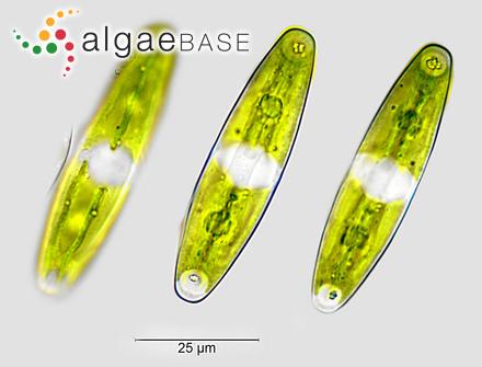 Sargassum microcystum f. luzonense Grunow
