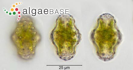 Myriodesma angustifolium (Sonder) Kützing