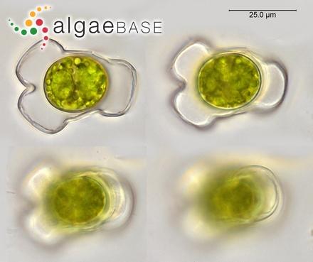 Sargassum biserrula J.Agardh