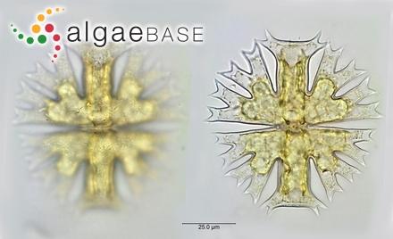 Sargassum biserrula f. ceylonense Grunow