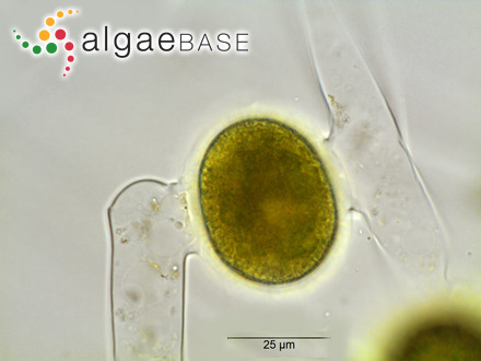 Sargassum biserrula var. tranquebarense Grunow