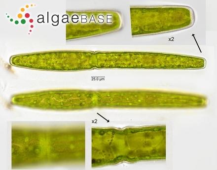 Sargassum capillare var. koenigii (Grunow) P.C.Silva