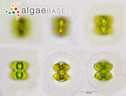 Sargassum binderi var. cervicorne (Greville) Grunow