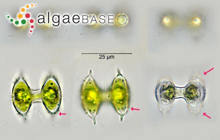 Sargassum cinereum var. thunbergii Grunow
