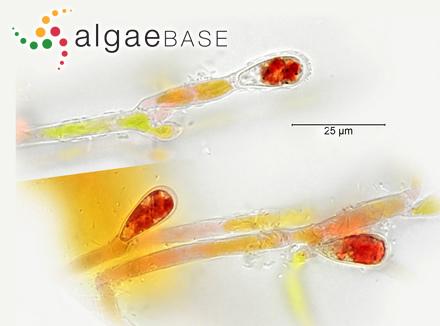 Cladophora magellanica Ardissone