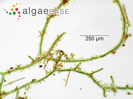 Vaucheria patagonica Hylmö