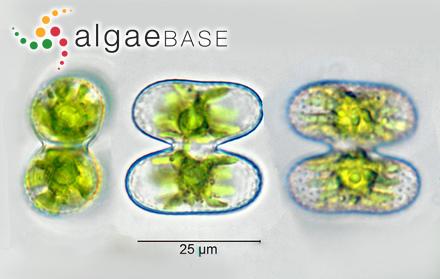 Cladostephus setaceus Suhr