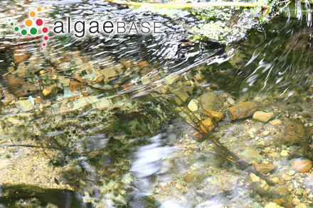 Syringoderma australe Levring
