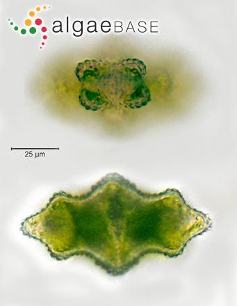 Euastrum verrucosum Ehrenberg ex Ralfs