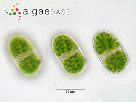 Spongocarpus enervus Kützing