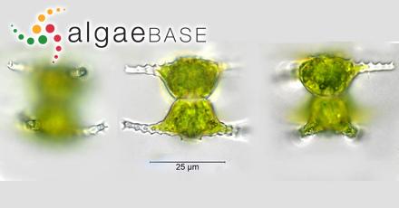 Sargassum fulvellum var. wilkesii Grunow